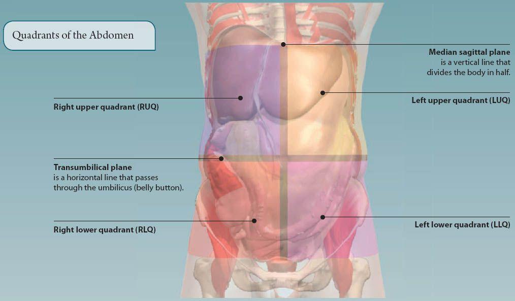 5 The Abdomen Basicmedical Key