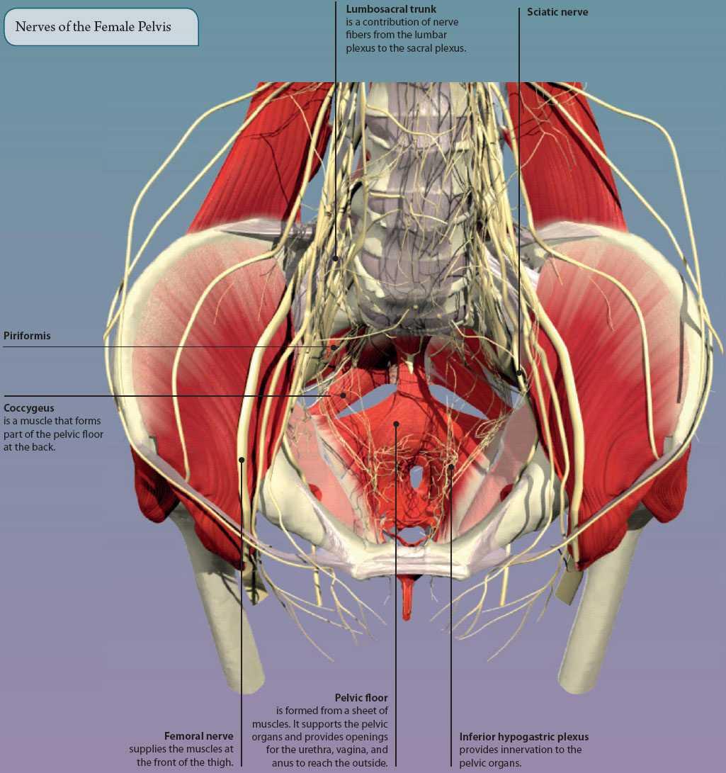 Pelvic anatomy images