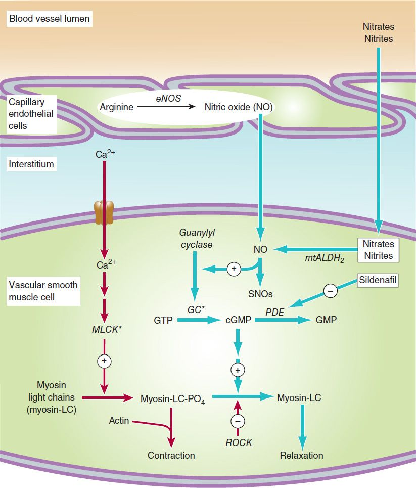 how myosin atpase activity affects muscle concentration A new state of myosin, the super relaxed state (srx), with a very slow atp  turnover rate has recently been observed in skeletal muscle.