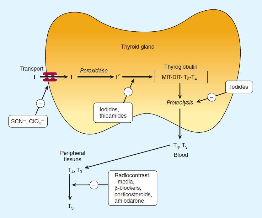 Thyroid Antithyroid Drugs Basicmedical Key