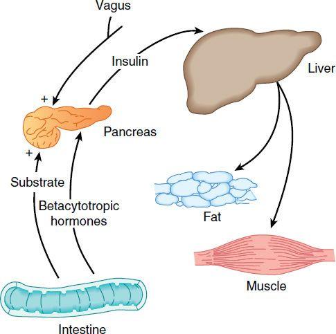 Pancreatic Hormones & Antidiabetic Drugs | Basicmedical Key