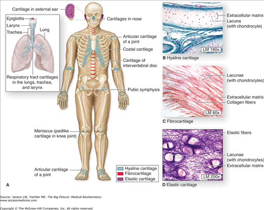 Chapter 13 Connective Tissue And Bone Basicmedical Key
