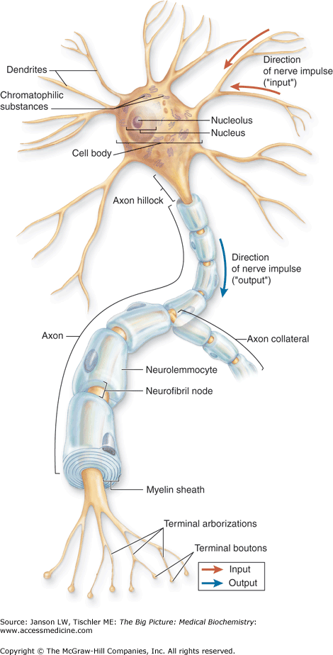 Chapter 19. The Nervous System | Basicmedical Key