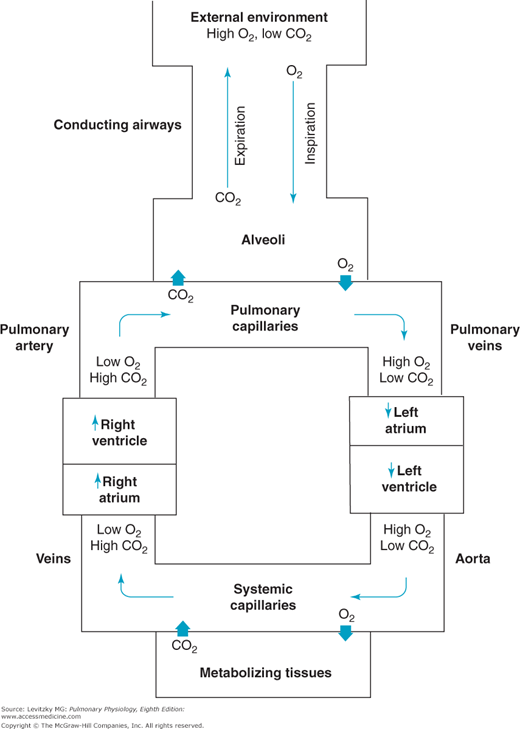 Function And Structure Of The Respiratory System