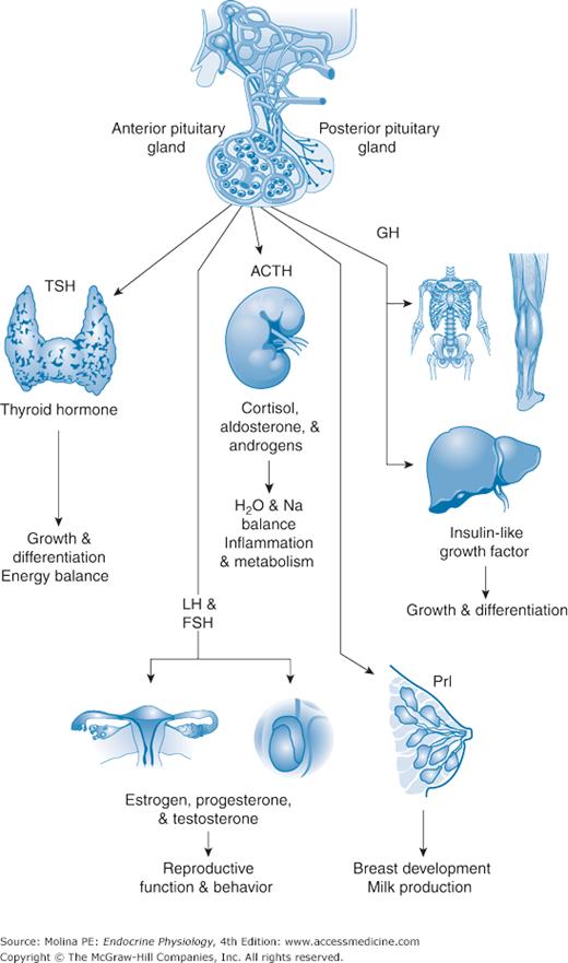 Anterior Pituitary Gland Basicmedical Key