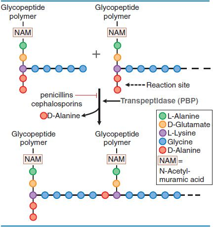 Penicillins, Cephalosporins, and Other β-Lactam Antibiotics