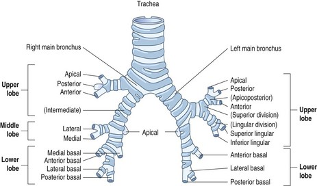structure of the normal lungs   Basicmedical Key