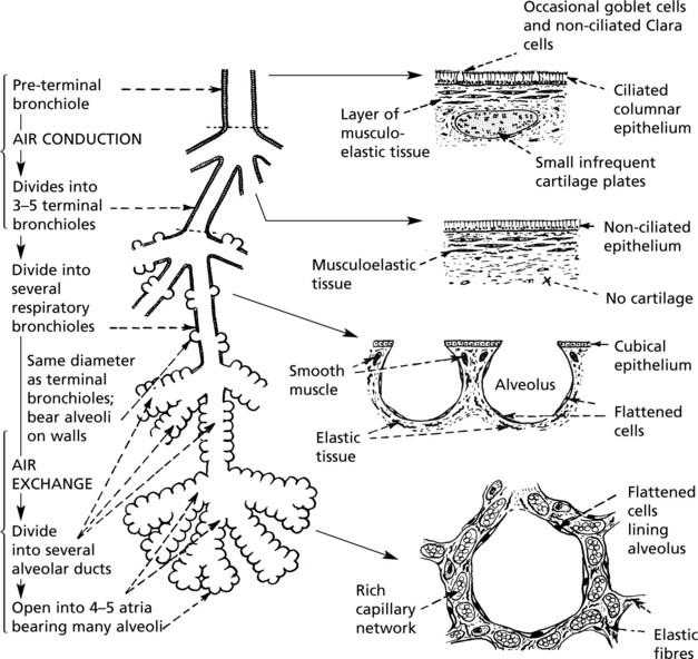 Respiratory System Basicmedical Key