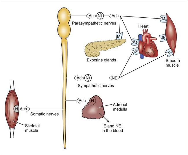 parasympathetic nervous system stimulation of the heart