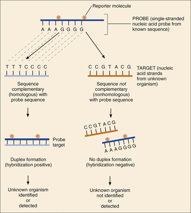 identification of an unknown organism is established by positive  hybridization (i e , duplex formation) between a nucleic acid strand from  the known