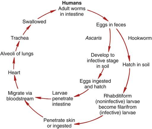 Intestinal Nematodes (Roundworms)
