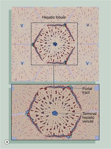 Liver and pancreas basicmedical key for Hepatic portal v