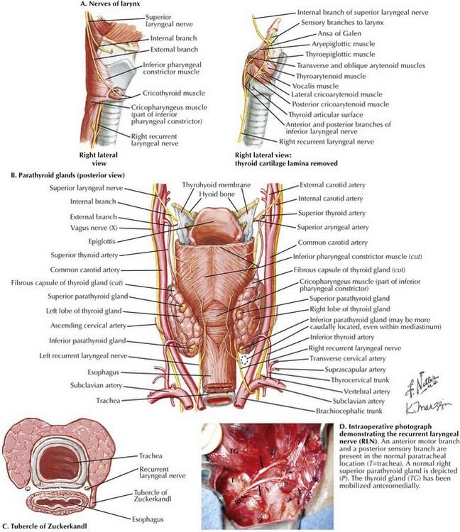 Thyroidectomy and Parathyroidectomy   Basicmedical Key