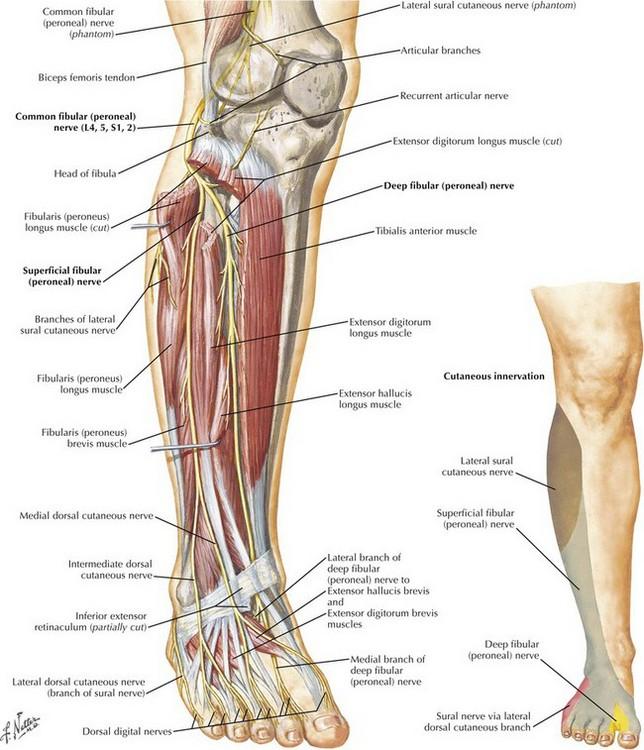 Leg and Forearm Fasciotomy | Basicmedical Key