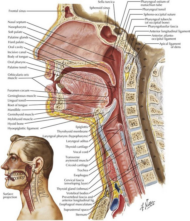 Tracheal Intubation And Endoscopic Anatomy Basicmedical Key