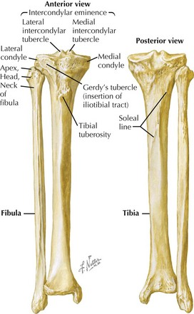 anatomy of knee and leg