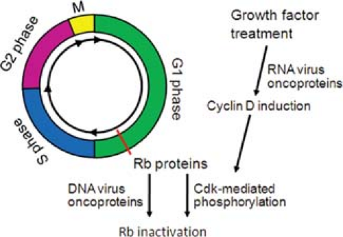 Viruses, Cell Transformation, and Cancer   Basicmedical Key