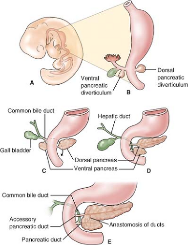 Surgical Anatomy Of The Pancreas Basicmedical Key