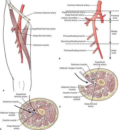 Gastrocnemius vein anatomy