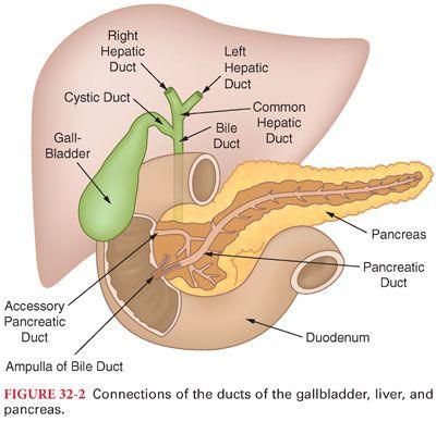 gastrointestinal physiology   basicmedical key, Human body