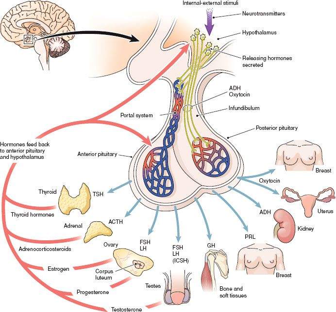 Pituitary And Adrenocortical Hormones Basicmedical Key