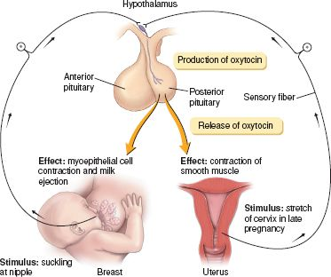 Uterine drugs basicmedical key figure 461 regulation and effect of the hormone oxytocin from premkumar k 2004 the massage connection anatomy and physiology sciox Gallery
