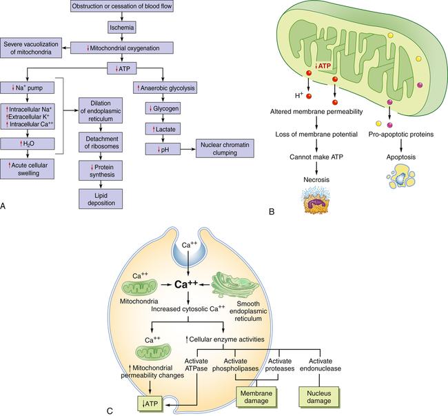 Altered Cellular and Tissue Biology   Basicmedical Key