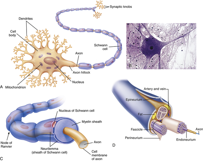 FIGURE 15-1 Structure of a Typical Neuron.A, Many dendrites carry nerve impulses to the cell body, and from the cell body the nerve impulses are conducted ...