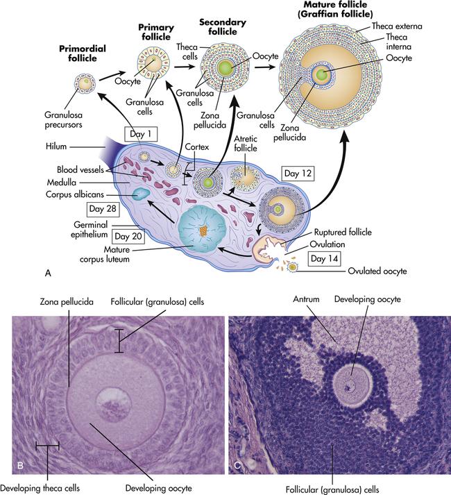 Follicle Measurements Ultrasound