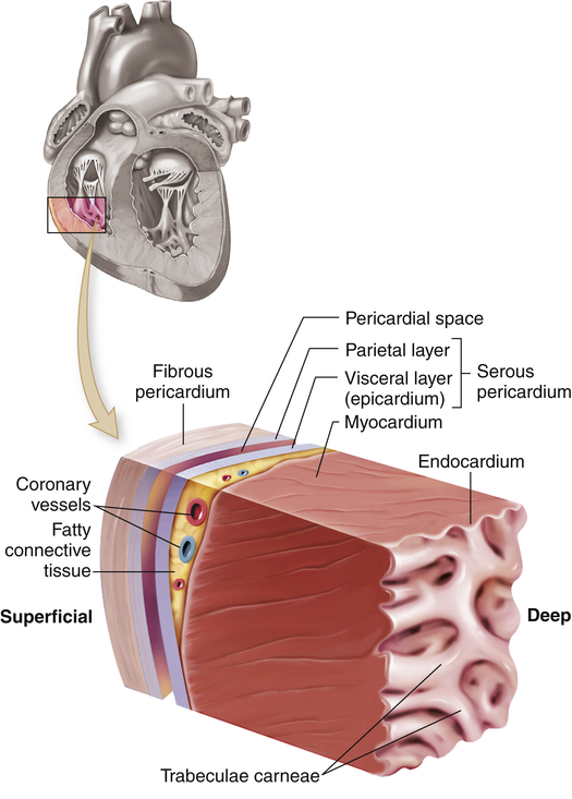 Structure and function of the cardiovascular and lymphatic systems figure 31 2 wall of the hearte cutout section of the heart wall shows the outer fibrous pericardium and the parietal and visceral layers of the serous ccuart Choice Image