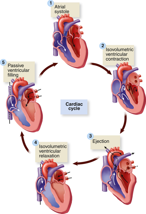 Structure And Function Of The Cardiovascular And Lymphatic