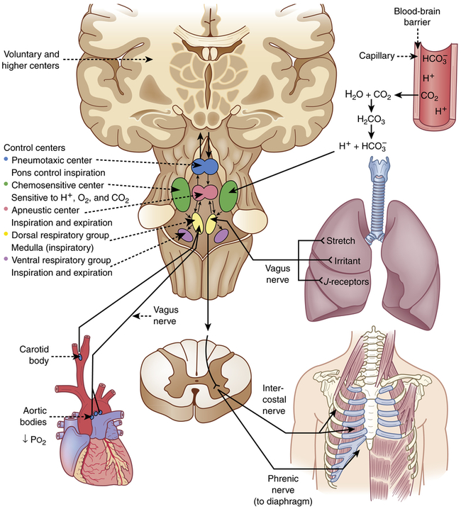 lung functions and control of breathing Breathing techniques and patterns are regularly advocated for relaxation, stress management, control of psycho physiological states and to improve organ function (ritz and roth, 2003) anatomically speaking there is a favorable equilibrium (balance in breathing pressures) with breathing, which can.
