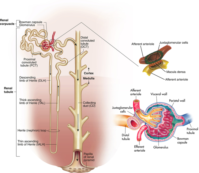 Structure And Function Of The Renal And Urologic Systems