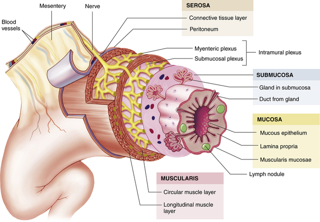 Structure and Function of the Digestive System | Basicmedical Key