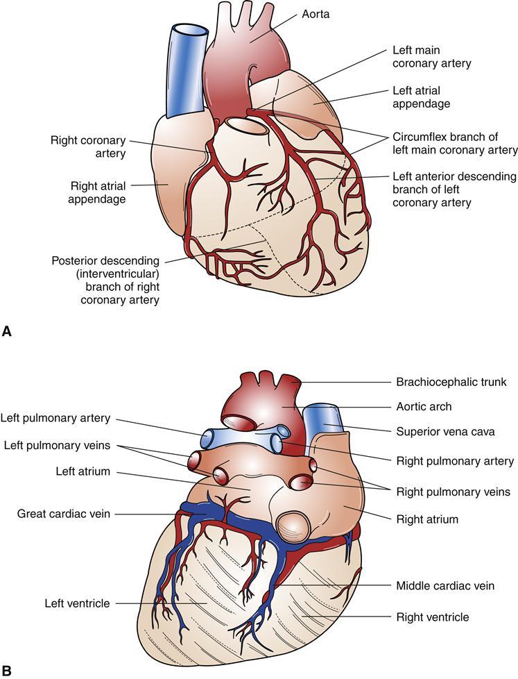 Coronary veins anatomy