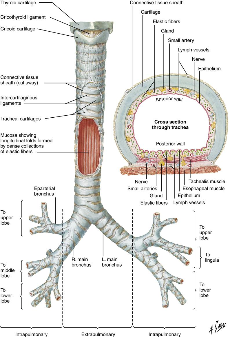 Respiratory Function And Alterations In Gas Exchange