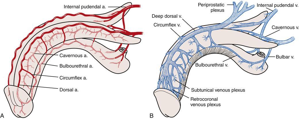 Anatomy of penile skin