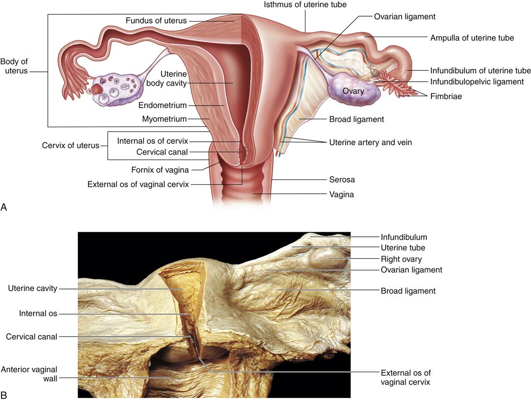 Reproductive Anatomy amp Physiology in Reptiles Nine Key 306259 ...