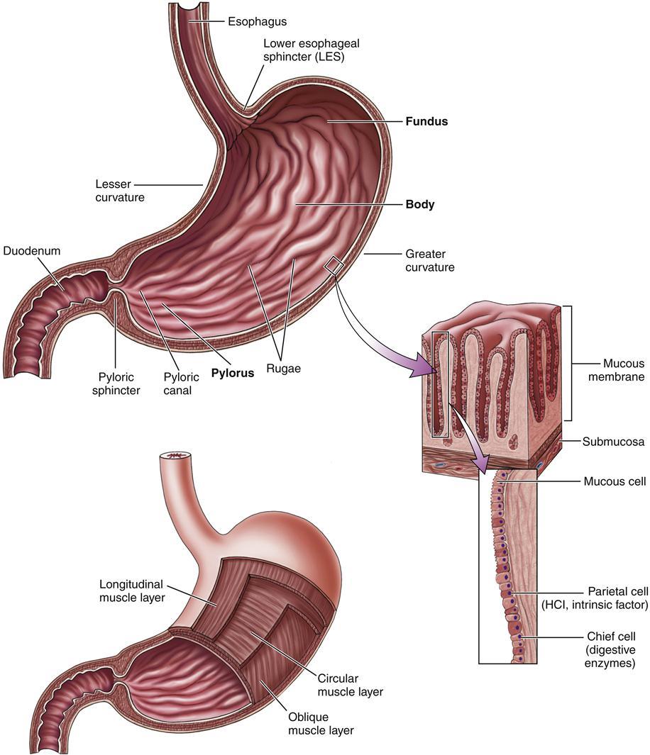 Gastrointestinal Function