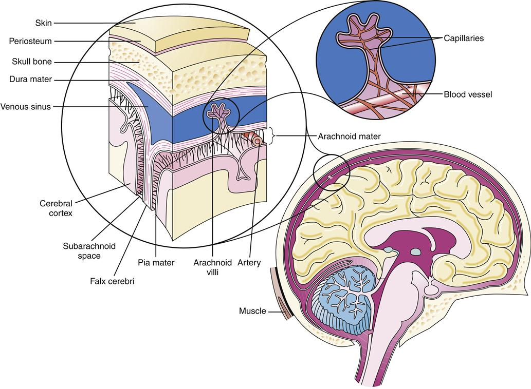 Structure and Function of the Nervous System | Basicmedical Key