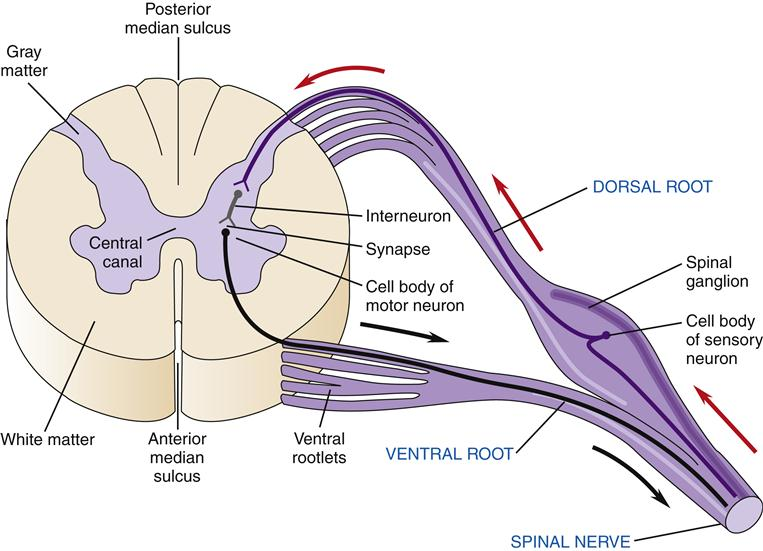 Structure And Function Of The Nervous System Basicmedical Key
