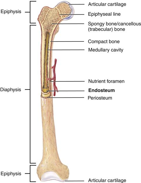 Anatomy of a typical long bone