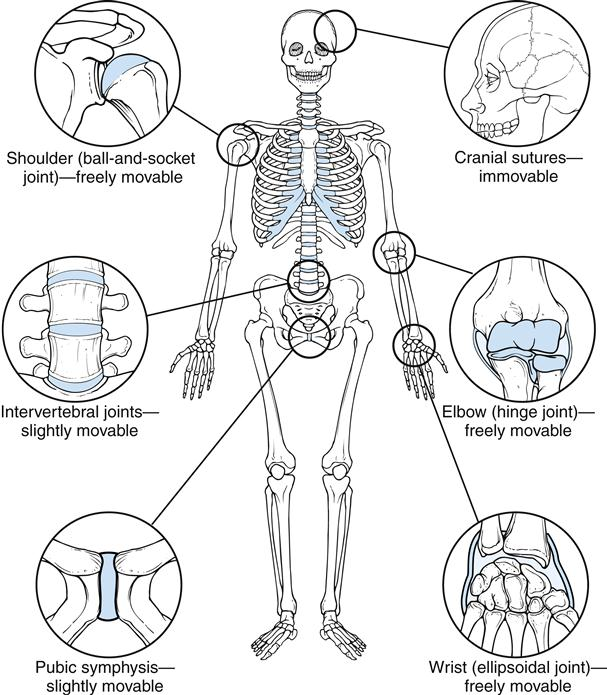 Structure And Function Of The Musculoskeletal System Basicmedical Key