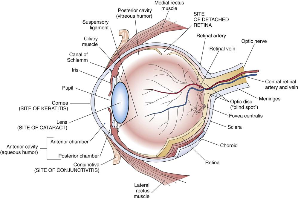 Disorders of the eyes ears and other sensory organs basicmedical key figure 15 1 structure of the eye ccuart Choice Image