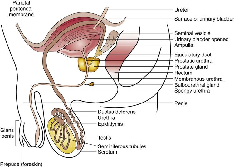 Reproductive System Disorders | Basicmedical Key