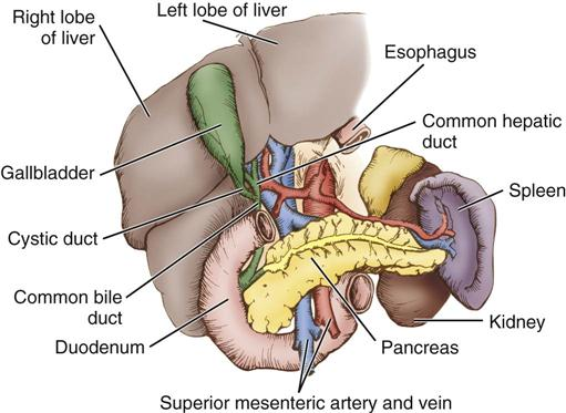 Surgery of the Liver, Biliary Tract, Pancreas, and Spleen ...