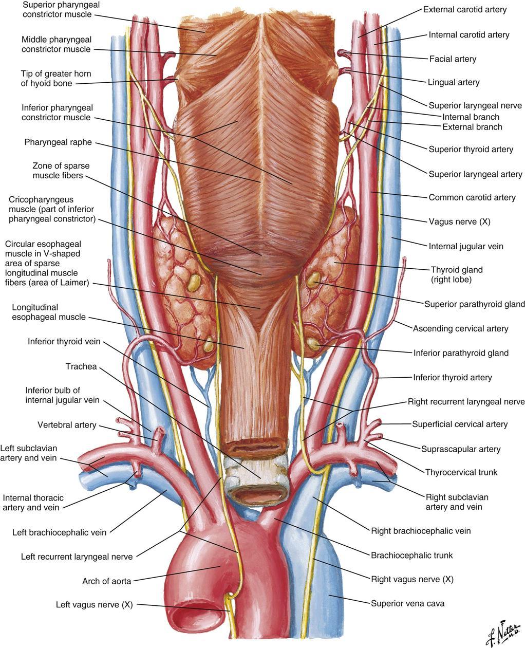Thyroid And Parathyroid Surgery Basicmedical Key