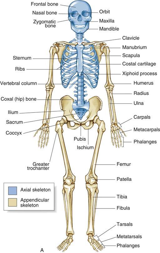 Orthopedic Skeleton Orthopedic Surgery | B...