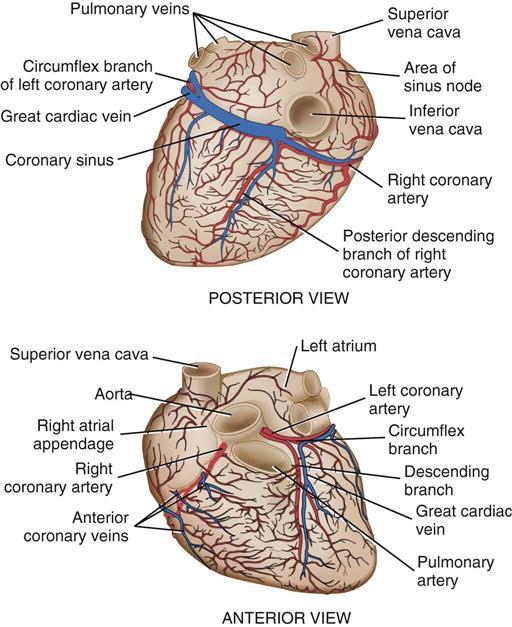 Anatomy Of Coronary Sinus Gallery Human Body Anatomy