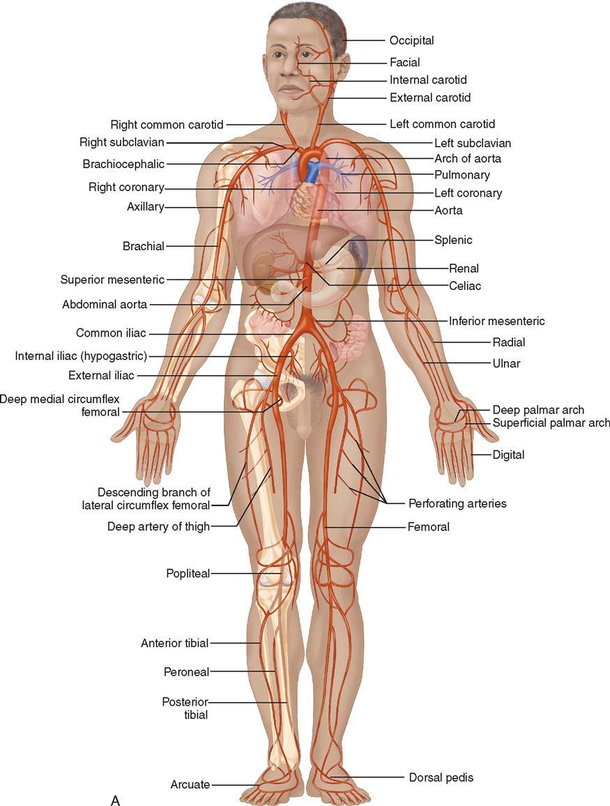 15 Vascular Surgery Basicmedical Key